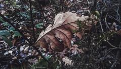 Y ver las hojas caer (Momentos que no se buscan...) Tags: galicia españa otoño autumn naturaleza nature hojas noviembre november mobilephoto mobilephotography sonyxperiaz3