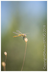 """Dragonfly / Anisoptera (R ERTUG) Tags: nikkor200500mmf56eafsed nikond610fx wildlifephotography dragonfly anisoptera rertug ertug """"nikonflickraward"""" naturewatcher"""