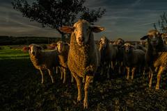 sheep look (johmako) Tags: schaf sunset sonnenuntergang animal sheep looking you samyang rokinon walimex 12mm fujifilm xm1 pixoom