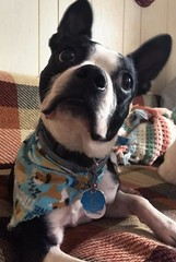 Milo (phthaloblu) Tags: 2018 pennsylvania northcountrypa cookforest vacation cabin bostonterrier milo