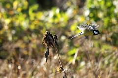 Rasvatihane (Jaan Keinaste) Tags: pentax k3 pentaxk3 eesti estonia elusloodus fauna lind bird rasvatihane parusmajor