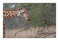 Girafe Mwatate (Claire PARMEGGIANI Photos) Tags: africa africangallery africanlife africanwildlife eastafrica gamedrive kenya giraffe safari tsavo wildlife wildafrica