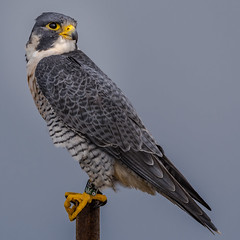 Looking back on this summer (Kevin Fox D500) Tags: peregrinefalcon peregrine falcon stoneharbor stoneharborpoint birdofprey newjersey