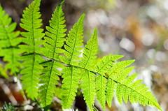 in the woods (II) (DaLi-A) Tags: wald wood herbst autumn bokeh thüringen neumühle grün green farn fern pentax k30 50mm pentaxlife