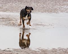 here she comes! (RCB4J) Tags: ayrshire clydecoast firthofclyde irvinebeach jakob rcb4j ronniebarron scotland sonyslta77v sonydt18250mmf3563 art babygrace dobermanterrier dogs photography play running sand sea siameselurcher trailhound