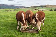Three of a kind.. (Maria-H) Tags: bull bullock hills glossop derbyshire highpeak peakdistrict pennines olympus omdem1markii panasonic 1235