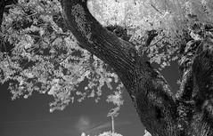 infrared trip #4 (mikele.nicoletti) Tags: ricoh500g rolleiinfrared40012 hoyar72infraredfilter 35mm infrared film filmphotography ibeliveinfilm filmisnotdead biancoenero infrarosso blackwhite rangefinder selfdeveloping homedeveloping bellinihydrofen11575 scanfromnegativefilm epsonv600scan
