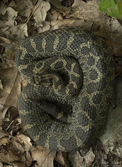 Eastern Massasauga Rattlesnake (Nick Scobel) Tags: eastern massasauga rattlesnake rattler sistrurus catenatus venomous snake pit viper rattle fangs pattern scales cryptic markings