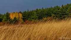 Autumn emotions (Milen Mladenov) Tags: 2018 landscape autumn birch colorful feeling forest grass green nature orange pine sunset tree yellow