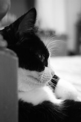 Canon EOS 60D - B&W - Cat - Calypso ponders the meaning of life... (Gareth Wonfor (TempusVolat)) Tags: garethwonfor tempusvolat mrmorodo gareth wonfor tempus volat puss pussy pusscat gato pussycat meow mono monochrome black white bw themeaningoflife life ponder think thinker thought canon eos 60d dslr
