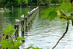 Gulls on the lake (Yirka51) Tags: droppings birddroppings feather branch bought chain pale stake gull wood wave water tree showthrough seagull reservoir pylon pond plant park nature leaf lake lagoon guardrail grass garden forest fauna bush bird basin animal