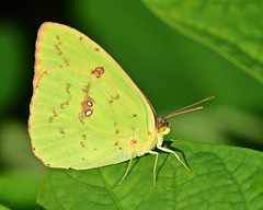 Butterfly (dina j) Tags: butterfly yellowbutterfly bug floridawildlife florida wildlife nature outdoors plant