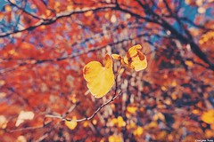 In every change (gusdiaz) Tags: nature naturephotography closeup hojas leaves naturaleza trees autumn fall otoño fuji fujifilm xt2 colorful cold beauty beautiful colorido vsco vscocam