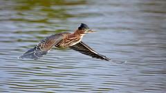 Green Heron (Rich Parkinson) Tags: nikon nikond850 d850 nikkor500mmf4gedvr heron greenheron bird bif birdinflight water nature