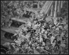 leaves and vines, old wooden staircase, warehouse, River District, Asheville, NC, Koni Omega Rapid 100, Super Omegon 80mm f-3.5, Kodak TMAX 400, Ilford Ilfosol 3 developer, 11.2.18 (steve aimone) Tags: leaves vines stairway stairs steps wooden urbandecay warehouse riverdistrict asheville northcarolina koniomegarapid100 koniomega 6x7 rangefinder kodaktmax400 ilfordilfosol3developer 120 120film film mediumformat monochrome monochromatic blackandwhite superomegon90mmf35