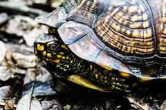 Wild Louisiana Box Turtle (_Lionel_08) Tags: tortoise turtle swamp louisiana wild wildlife reptile animal yellow green color canon rebel t5