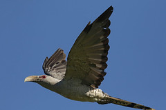 Channel-billed Cuckoo (Alan Gutsell) Tags: channelbilled cuckoo channel billed flying brownhoneyeater queenslandbirds queensland australianbird bird photo hinterland alan