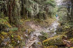In the forest on the way to the village of Woche - Gasa District - Snowman Trek - Bhutan (PascalBo) Tags: nikon d500 asie asia southasia asiedusud drukyul drukgyalkhap bhutan bhoutan འབྲུག་ཡུལ། འབྲུག་རྒྱལ་ཁབ་ snowman trek trekking hike hiking trekker lunana gasa himalaya himalayas jigmedorjinationalpark forest arbre tree vegetation forêt trail sentier outdoor outdoors pascalboegli