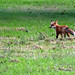 Backyard Fox (MTSOfan) Tags: fox redfox wildlife