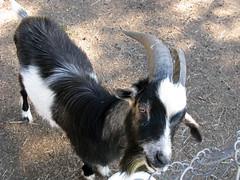 Goat (Koza) (januszsl) Tags: animal zwierzęta ssaki ssak mammal goat koza hausziege chèvre strzegowo mazowsze poland