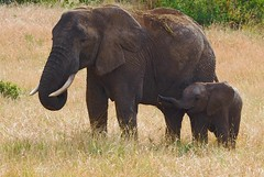 Elephants (Carol Griffiths) Tags: elephants wildlife africa safari