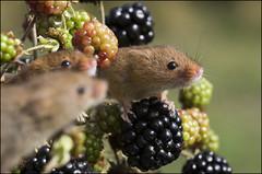 Harvest mice (Craig 2112) Tags: harvest mice mouse macro micromys minutus rodent mammal