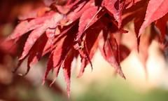 Sfumature d'autunno - Fall shades (Raffa2112) Tags: autunno rosso sfumature autumn fall foliage shades red raffa2112 foglie canoneos750d seasonsflora smileonsaturday