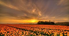 At the end of the day. (Alex-de-Haas) Tags: 11mm adobe blackstone d850 dutch hdr holland irix irix11mm irixblackstone lightroom nederland nederlands netherlands nikon nikond850 noordholland photomatix beautiful beauty bloem bloemen bloementeelt bloemenvelden cirrus floriculture flower flowerfields flowers landscape landschaft landschap lente lucht mooi polder skies sky spring sun sundown sunset tulip tulips tulp tulpen zonsondergang hetzand nl