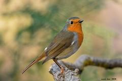 Pitroig (Enllasez - Enric LLaó) Tags: pitroig petirrojo aves aus bird birds ocells pájaros 2018 hide vallbona lleida pájaro