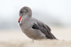 Heermann's Gull (Melissa James Photography) Tags: larusheermanni huntingtonbeach californiabirds gull shorebird nikond500 nikon300f4 nature sand shore beach bird