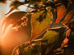 Herbstabendstimmung (Werner Schnell Images (2.stream)) Tags: ws herbst avebd sonnenuntergang blätter gegenlicht autumn sunset leaves