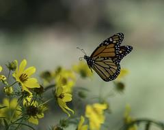 MonarchButterfly_SAF7524 (sara97) Tags: danausplexippus butterfly copyright©2018saraannefinke endangered insect missouri monarch monarchbutterfly nature photobysaraannefinke pollinator saintlouis flight inflight