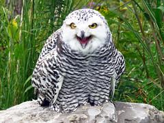 Robert Snowy Owl CRC IMG_5757 (Jennz World) Tags: ©jennifermlivick canadianraptorconservancy vittoria ontario canada raptors raptor bird snowyowl owl