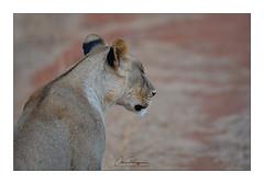 LIONNE Tsavo Ouest Taita Hills (Claire PARMEGGIANI Photos) Tags: africa africangallery africanlife africanwildlife bigfive eastafrica gamedrive kenya lions safari tsavo wildlife bigcats wildafrica