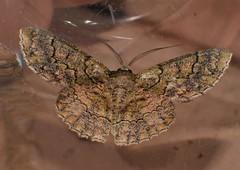 Pale Kranky Koala Moth Hypodoxa sp aff emiliaria Geometrinae Geometridae Airlie Beach rainforest P1420457 (Steve & Alison1) Tags: pale kranky koala moth hypodoxa sp aff geometrinae geometridae airlie beach rainforest emiliaria