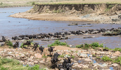 Wildebeests (jorgen_hog) Tags: tanzania serengeti marariver wildebeest crossing