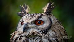 Bengaalse Oehoe | Bubo bengalensis | Indian eagle-owl (Ed Steenhoek) Tags: bengaleagleowl bird birdsofprey bubo bubobengalensis hornedowl indianeagleowl rockeagleowl strigidae trueowl