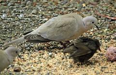 _MG_1117 (M0JRA) Tags: birds flight flying wildlife rats walks gardens parks fields trees lakes ponds ducks swans rspb