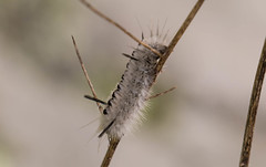 7K8A7873 (rpealit) Tags: scenery wildlife nature weldon brook management area hickory tussock moth