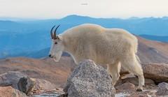 Mountain goat Encounter (agnish.dey) Tags: mountaingoat rockymountains wildlife sky nature naturallight naturephotograph nikon naturethroughthelens animalplanet d500 coth colorado mammal