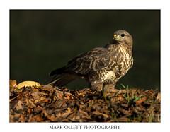 Buzzard at my hide (Mark Ollett) Tags: buzzard wildlife wildlifephotography nikon norfolk norfolkwildlifetrust norfolkbroads norfolkcountryside nature markollettphotography birdofprey
