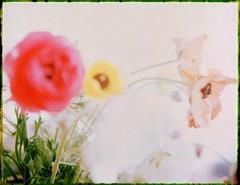 flowers losing focus (mortiemctavern) Tags: roidweek2018 day1 polaroid fp100c polaroid180 bleached negative flowers focus closeup peelapart