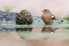 Vink m-7868 (lucvereecken) Tags: glenn kalmthout bosvogels oktober