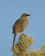2018-09-28 Green Valley, AZ 6 (JanetandPhil) Tags: 20180910artxaznmvacation birds curvebilledthrasher toxostomacurvirostre nikon nikkor d800 800mmf56 greenvalleyaz