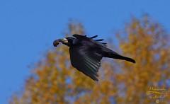 Food supplier ???   :-)) (Jurek.P) Tags: birds bird birdsinflight rook gawron autumn warsaw warszawa poland polska jurekp sonya77