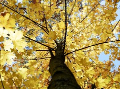Looking Up (docwiththecamera) Tags: tree yellow leaf leaves sky autumn fall nature color colors