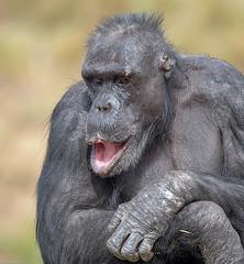 376A0528 (bon97900) Tags: 2018 adelaidehills animals chimpanseze monarto monartozoo monkeys southaustralia