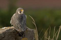 Peregrine (colstond) Tags: tercel raptor peregrine falcon