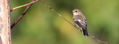 Papa-moscas-preto - (Ficedula hypoleuca) - European pied flycatcher (carloscmdm) Tags: parque urbano jamor natureza selvagem papamoscaspreto ficedula hypoleuca european pied flycatcher