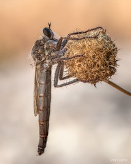 Asilidae (invesado) Tags: nikon d750 sierra de madrid macro naturaleza campo insectos moscas bichos tamron